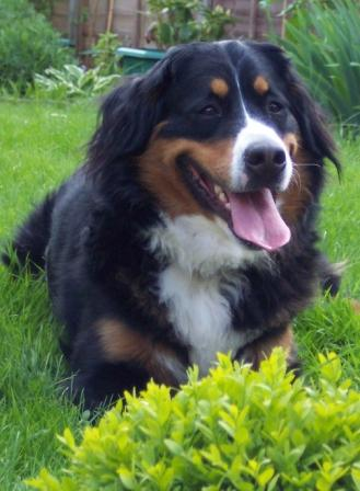 bernese mountain dog, dog behaviour training, reward based training, aggressive dog training